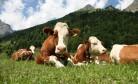 Животноводство в НСО: ставка на строительство новых мощностей